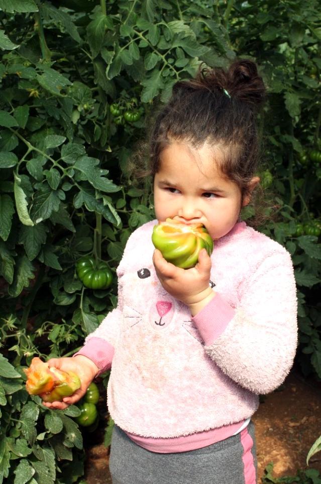 Atalarından miras asırlık tohumla yerli domates yetiştiriyor